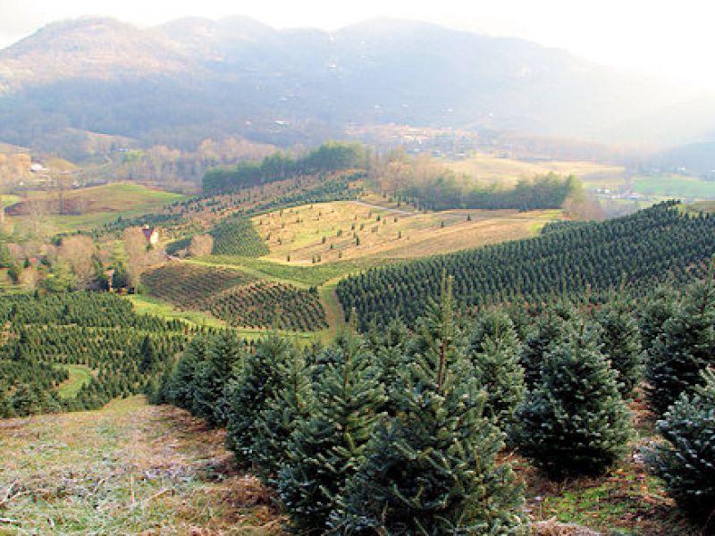 boyd mountain christmas tree farm visitnccom - Christmas Tree Farm Asheville Nc