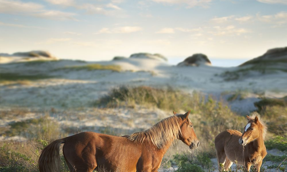 See Wild Horses Roam Free On The North