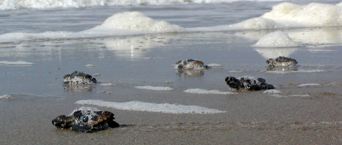 5 sea turtle hatchlings crawl across wet sand and sea foam toward ocean on North Carolina's Bald Head Island