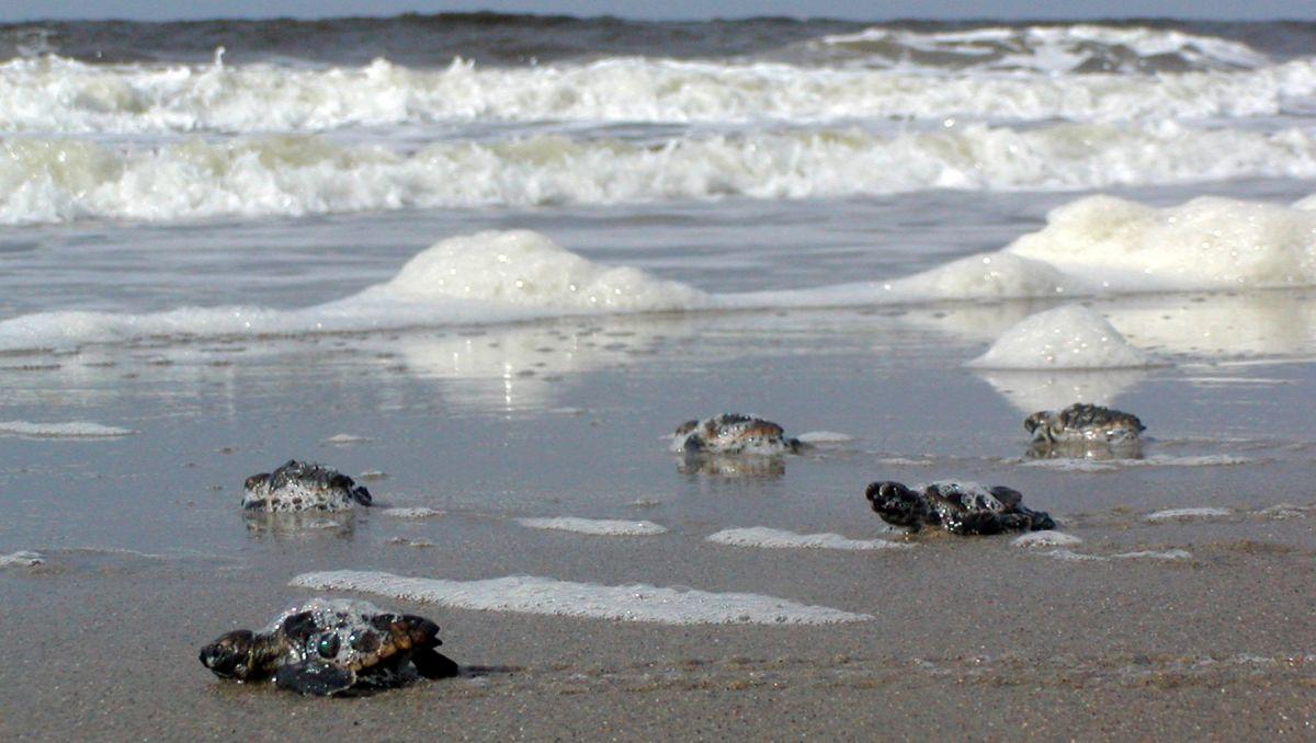 Sea Turtle Attractions on the North Carolina Coast | VisitNC com