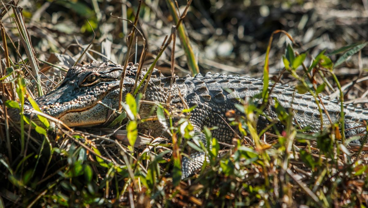 Alligator blending in with grass and brush on an Alligator River kayak tour in Nags Head