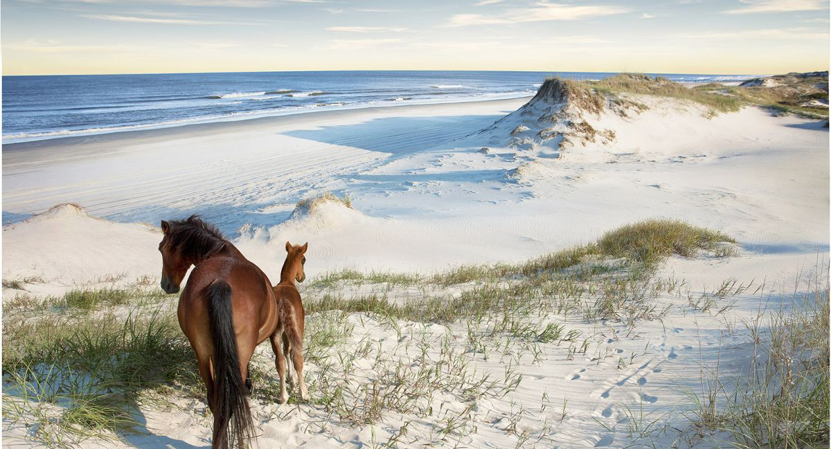 Wild Spanish Mustangs On Carova Beach