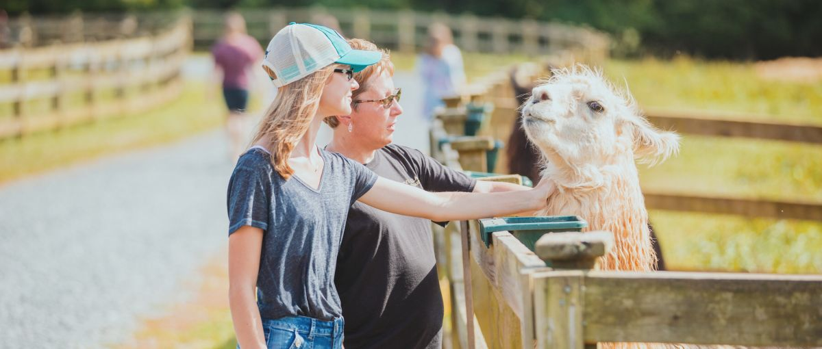 Two women petting a llama on sunny day at Divine Llama Vineyards in East Bend