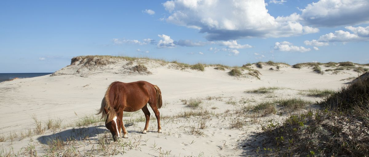 Carova Beach The Corolla Wild Horse