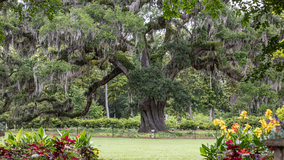 Large Airlie Oak tree in distance with flowers in foreground on cloudy day at Airlie Gardens in Wilmington