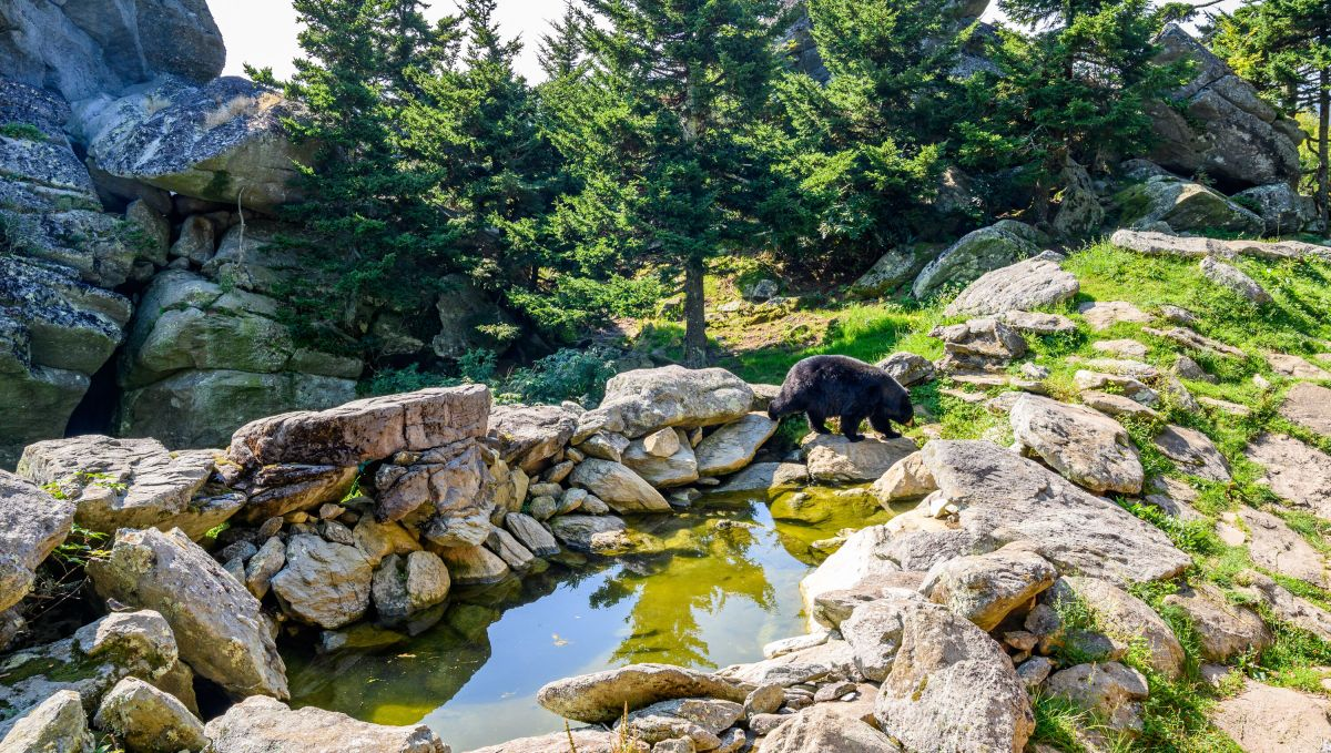 Black bear in Grandfather Mountain Wildlife Habitat on sunny day with trees and rocks and pond